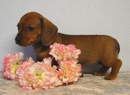 Mini Dachshunds In Ohio from Diamant's