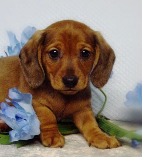 Mini Dachshunds In Ohio from Diamant's - Boys - Puppies For Sale